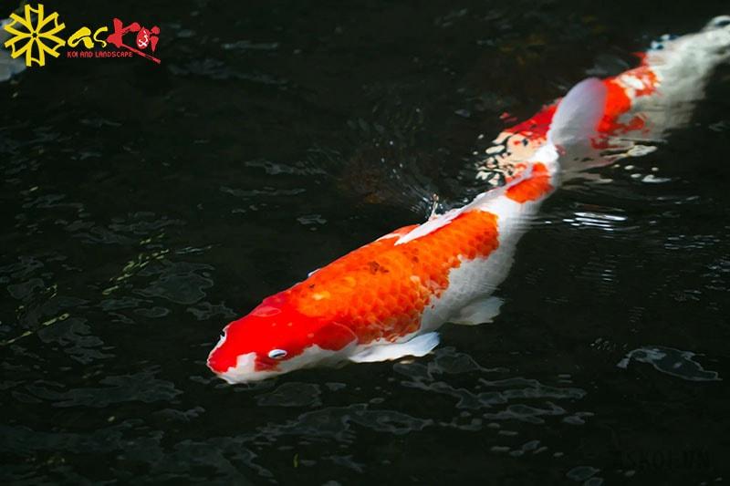 Giống cá khỏe mạnh có hình dáng đẹp, màu sắc rõ ràng, dáng bơi đẹp